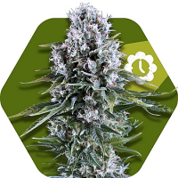 Zambeza Seeds Northern Lights XL Auto Feminized