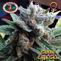 Big Buddha Seeds Sour Chiesel Feminized