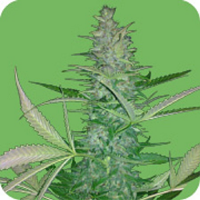 Seeds of Life Big Low Auto Feminized