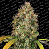 Paradise Seeds Dutch Kush Feminized