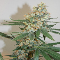 Bodhi Seeds Silver Mountain Regular