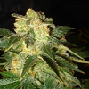 World of Seeds Pakistan Ryder Auto Feminized