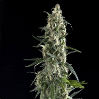 Pyramid Seeds Auto Amnesia Gold Feminized