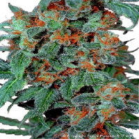 Dutch Passion Seeds Orange Bud Feminized