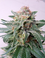 Critical Mass Collective Seeds Auto Purple Skunk Mass Feminized