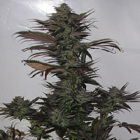 Secret Valley Seeds Northern Flame Feminized