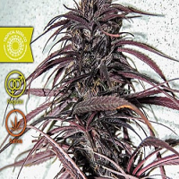 Tropical Seeds Co Old Congo Regular