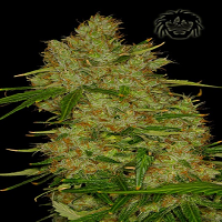 Dready Seeds Dready Skunk Feminized