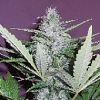 Secret Garden Seeds Pink Citrus F1 Auto Feminized