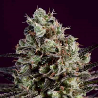 SuperCBDx Seeds Royal Purple Kush x SCBDx Feminized