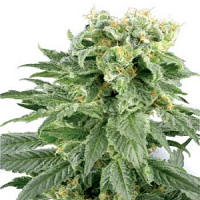 White Label Seed Company Double Gum Regular