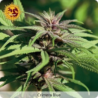 Barney's Farm Seeds Crimea Blue Feminized