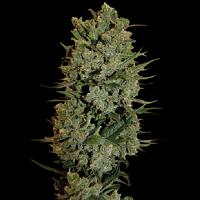 Barney's Farm Seeds Auto NYC Diesel Feminized