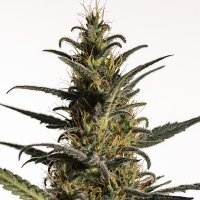 Medical Marijuana Genetics Candida (CD1) Feminized