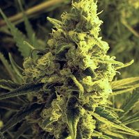 T.H.Seeds Critical HOG Feminized