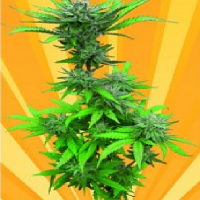 Freedom of Seeds Crystal Dwarf Auto Feminised