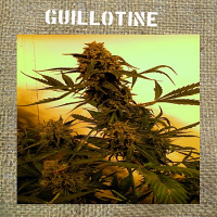 French Touch Seeds Guillotine Auto Feminized