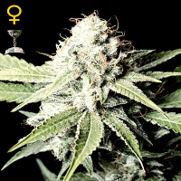 Green House Seeds Great White Shark Feminised