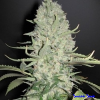 Female Seeds White Widow x Big Bud Indoor Feminized