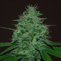 Cream of The Crop Seeds Cropical Fruit Auto Feminized