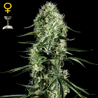 Green House Seeds Super Silver Haze Feminised