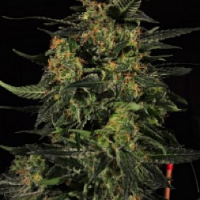 Reeferman Seeds Early Bubba Kush Regular