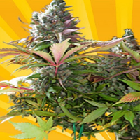 Freedom of Seeds Mighty Grape Feminized