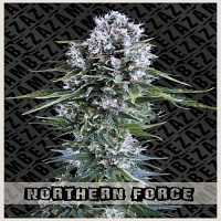 Zambeza Seeds Northern Force Auto Feminized