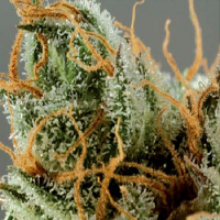 De Sjamaan Seeds Intense Skunk Feminised