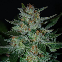 Expert Seeds Blue Funk Auto Feminised