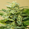 Advanced Seeds Auto Low Girl Feminized (PICK N MIX)