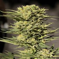 Seedsman Seeds Auto CBD Sugar Gom Feminized