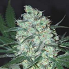 Samsara Seeds Green Love Potion Feminized